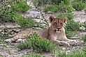 Lion (Panthera leo) cub Etosha.jpg