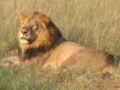 Lion in Botswana.JPG