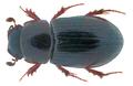 Liothorax plagiatus (Linnaeus 1767) Syn.- Aphodius (Liothorax) plagiatus (Linnaeus 1767) (32381137080).png