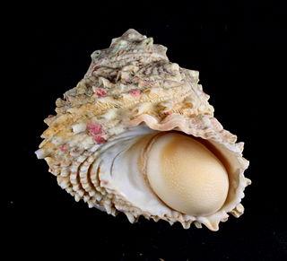 <i>Lithopoma caelatum</i> species of mollusc