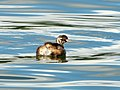 Little Grebe (8012806911).jpg