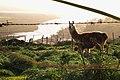 Llama en cerro el cristo, Llolleo - Flickr - moralescv.jpg