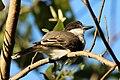 Loggerhead kingbird (Tyrannus caudifasciatus jamaicensis).jpg