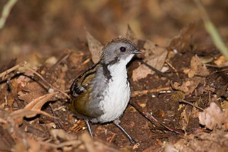Australian logrunner - A male logrunner foraging on the forest floor
