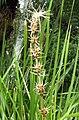 Lomandra longifolia Glasgow.jpg