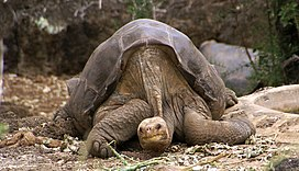 Lonesome George -Pinta giant tortoise -Santa Cruz.jpg