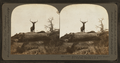 Lordly monarch of western wilds, an actual snaphot of a wild elk, Montana, U.S.A, by Keystone View Company.png