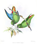 Drawing of two green parrots with red central tail and a blue underside of dark green wings