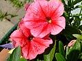 Lovely Petunias (3813372926).jpg