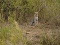Luipaard (6290933620).jpg