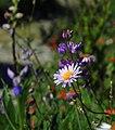 Lupine, Purple Coneflower and Indian Paintbrush-Gifford Pinchot (26507976290).jpg