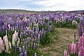 Lupins near lake tekapo region.jpg