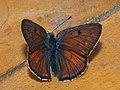 Lycaena alciphron ♂ - Purple-shot copper (male) - Червонец фиолетовый (самец) (40968281782).jpg