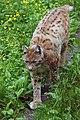 Lynx lynx Ähtäri.jpg