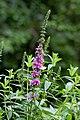 Lythrum Flower - Flickr - nekonomania (8).jpg