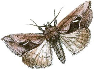 <i>Macdunnoughia tetragona</i> Species of moth
