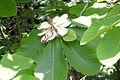 Magnolia hypoleuca (200705).jpg