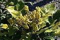 Mahonia japonica Bealei 3zz.jpg