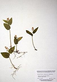 Maianthemum canadense BW-1979-0529-0396.jpg