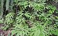 Maidenhair Ferns (34541338420).jpg
