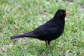 Male Common Blackbird (Turdus merula). RHS Wisley Garden Surrey UK.jpg