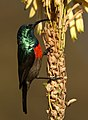 Male Greater Double-collared Sunbird (Cinnyris afer) at Walter Sisulu National Botanical Garden, Gauteng, South Africa (35089822701).jpg