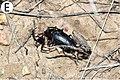 Male of P. brachypterus brachypterus hunted (10.3897-zookeys.805.29660) Figure 9 (cropped).jpg