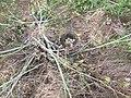 Mallard Duck Nest (34715572550).jpg