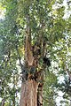 Malpighiales - Irvingia malayana - 2.jpg