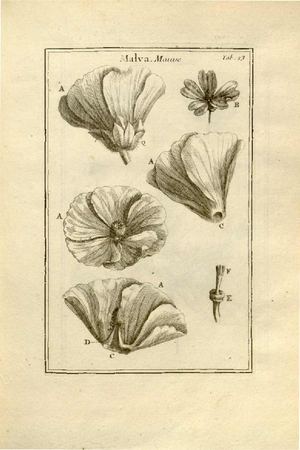 Claude Aubriet - A Malva, illustrations for Tournefort's Institutiones
