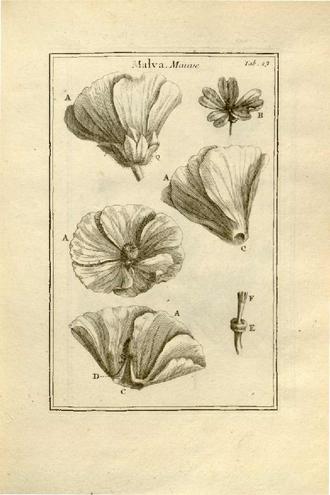 Claude Aubriet - A Malva, illustrations for Tournefort's Institutiones