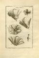 Malva-Institutiones rei herbariae2-Tab 23.png