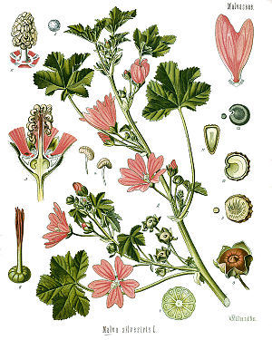 Wilde Malve (Malva sylvestris), Illustration.