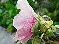 Malvaceae Alcea rosea - Stokroos 03.jpg