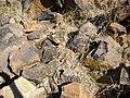 Mammillaria guelzowiana (5729377159).jpg
