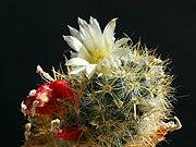 Mammillaria prolifera20200323 16711.jpg