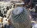 Mammillaria supertexta (5758436853).jpg