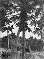 Man picks breadfruit off tree (AM 84895-1).jpg
