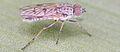 Manestella poecilothorax, male, Western Australia, Golden Bay dunes - ZooKeys-240-001-g001.jpeg