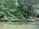 Mangrove in Can Gio forest.jpg