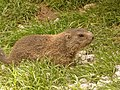 Marmota marmota -Alpenzoo, Innsbruck, Tyrol, Austria-8a.jpg