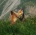 Marmottes.jpg