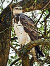 Martial-Eagle-Masai-Mara