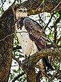 Martial-Eagle-Masai-Mara.jpg