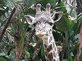 Masai Giraffe (3264733699).jpg