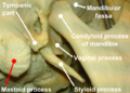 Mastoid process (close) with label.png