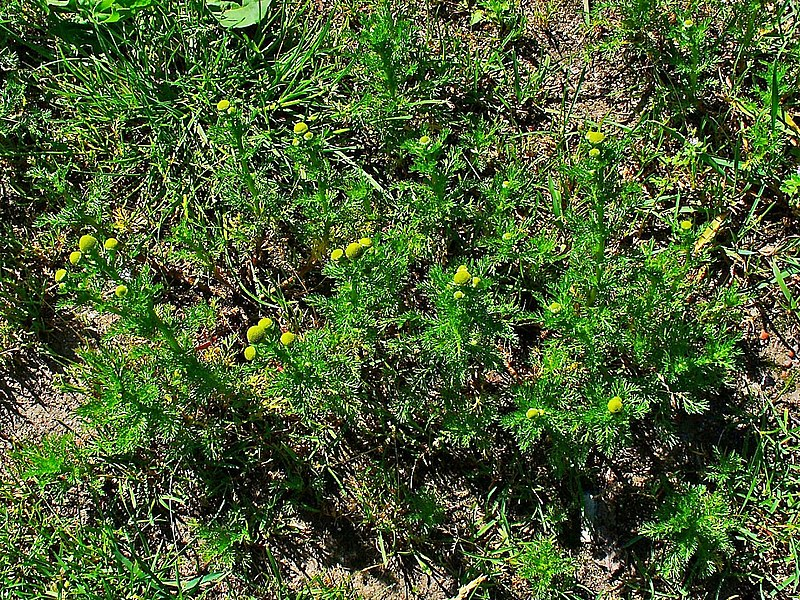 File:Matricaria discoidea 001.JPG