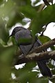 Maullador Gris, Gray Catbird, Dumetella carolinensis (11966547725).jpg