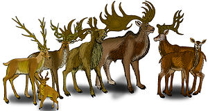 Megaloceros - Restoration of various Megaloceros and Praemegaceros species