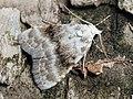 Meganola albula - Kent black arches - Карликовый шелкопряд беловатый (43173430344).jpg